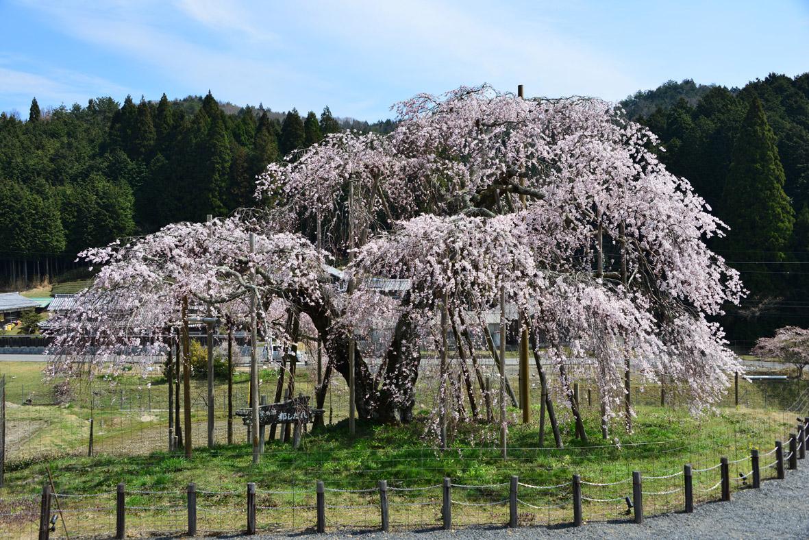 「信楽 しだれ桜」の画像検索結果
